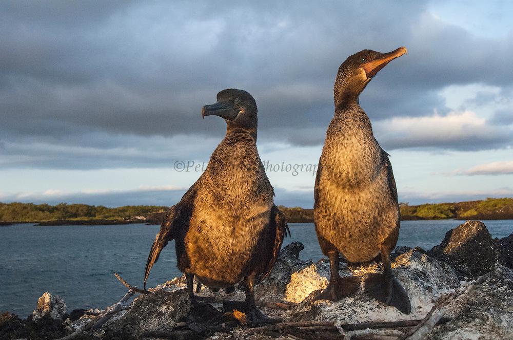 Flightless Cormorants (Phalacrocorax harrisi) on nest<br /> Fernandina Island. Western Isles of Galapagos Islands<br /> ECUADOR.  South America<br /> ENDEMIC TO GALAPAGOS