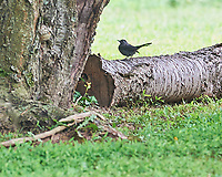 Gray Catbird. Image taken with a Nikon D3 camera and 200 mm f/2 VR lens.