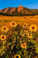 Sunflowers and the Flatirons rock formations, Chautauqua Park, Boulder, Colorado USA.