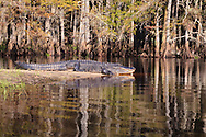 An American Alligator (Alligator mississippiensis) basks on a sandy island in Fisheating Creek in Florida's Fisheating Creek Wildlife Management Area (WMA). WATERMARKS WILL NOT APPEAR ON PRINTS OR LICENSED IMAGES.