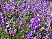 Lavender Bloom at 123 Farms