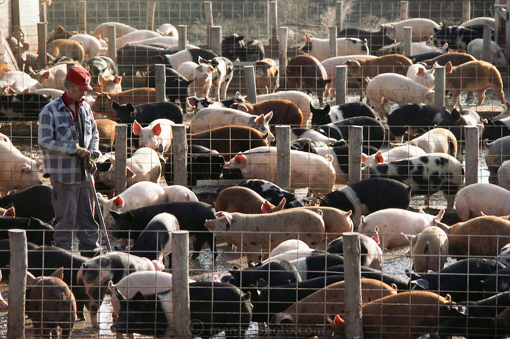 Pigs/Swine/Hog: Bill Liston's Iowa hog farm uses old fashioned, outdoor confinement. USA.