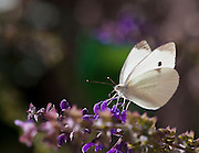 A macro shot of a Cabbage White Butterfly (Pieris rapae) on some purple flowers.