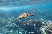 a green sea turtle, Chelonia mydas, swims above bleached colonies of cauliflower coral, Pocillopora meandrina, during a marine heat wave in 2019, Black Rock, West Maui, Hawaii, USA ( Central Pacific Ocean )