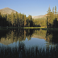 Mount Dana and a lodgepole pine forest reflect in a lake.