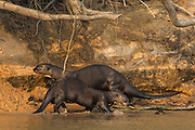 Giant Otters (Pteronura braziliensis) at Den<br /> PHOTOGRAPHED IN:Pantanal. Largest contiguous wetland system in the world. Mato Grosso do Sur Province. BRAZIL.  South America. RANGE: All countries of South America except chile, Argentina and Uruguay.<br /> CITES 1 animals. Top predators. +- 1.80 meters / 5.9ft long. 30Kgs / 66 pds.  They are the rarest otter. They have disappeared over much of their former range as a result of pelt hunting . Over 20,000 skins were exported from Brazil alone in the 1960's. Otter hunting banned in the 1970's but now it is habitat distruction which threatens this species.