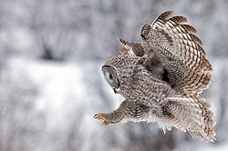 Great Grey Owl, in flight, winter, landing, Jackson Hole, Wyoming