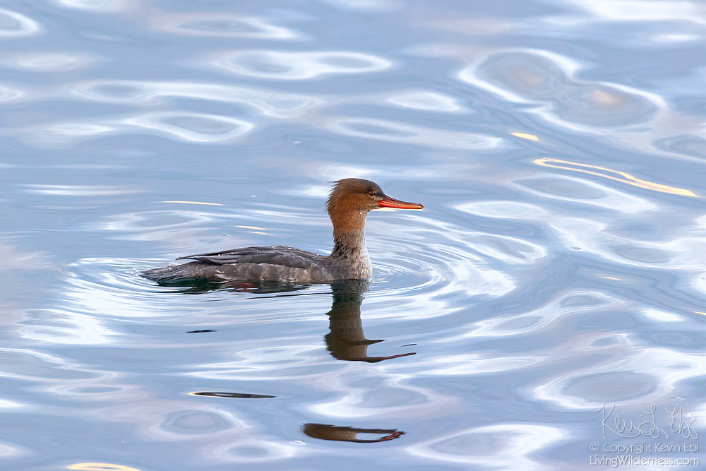 A red-breasted merganser (Mergus serrator) creates ripples as it swims on the water of Puget Sound near Edmonds, Washington. The red-breasted merganser spends the winter on coastal bays, feeding mainly on small fish, crustaceans and aquatic insects.