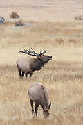Rocky Mountain bull elk bugle during the autumn rut