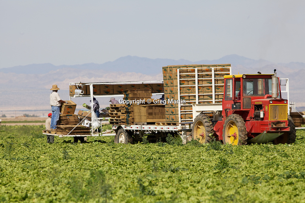 Migrant Workers harvesting cabage in the Imperial Valley, Brawley, California