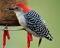 Red-bellied Woodpecker. Image taken with a Nikon D850 camera and 600 mm f/4 VR lens.