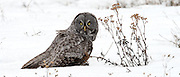 A Great Gray Owl on the hunt near Lindley Park in Bozeman, Montana.