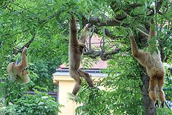 THEMENBILD - Der Weißhandgibbon oder Lar ist eine Primatenart aus der Familie der Gibbons, aufgenommen am 19.05.2019 im Tiergarten Schönbrunn in Wien, Österreich // The white-headed gibbon or Lar is a primate species of the gibbons family, pictured on 2019/05/19 at the Tiergarten Schönbrunn at Vienna, Austria. EXPA Pictures © 2019, PhotoCredit: EXPA/ Lukas Huter
