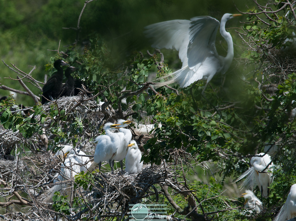 The Great Egret and the smaller Snowy Egret of the Texas Gulf Coast are photographed in thier natural environment and feeding areas.