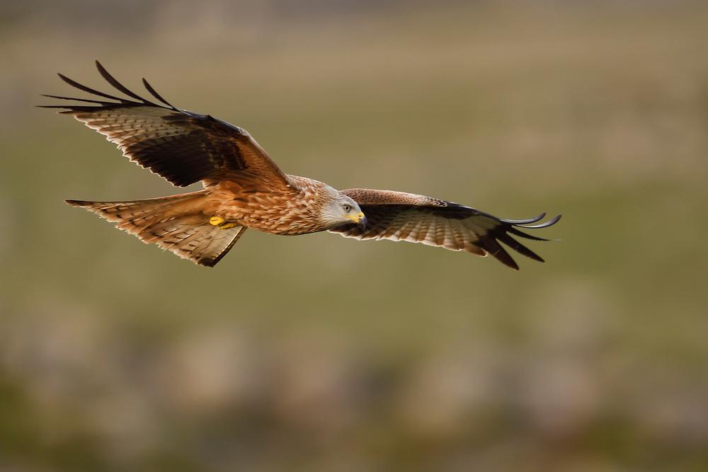 Red kite, Milvus milvus, Gredos Mountains, Ávila, Spain