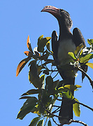 Male crowned hornbill (Lophoceros alboterminatus). Kilimanjaro National Park, Tanzania.