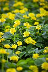 Ranunculus ficaria Flore Pleno. Lesser Celandine (Double form)