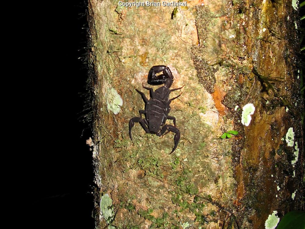 A scorpion on a tree in the Amazon Basin outside of Puerto Maldonado, Peru