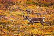 Male Caribou with velvet antlers walking across fall color tundra, Denali National Park & Preserve, Interior Alaska, Autumn.