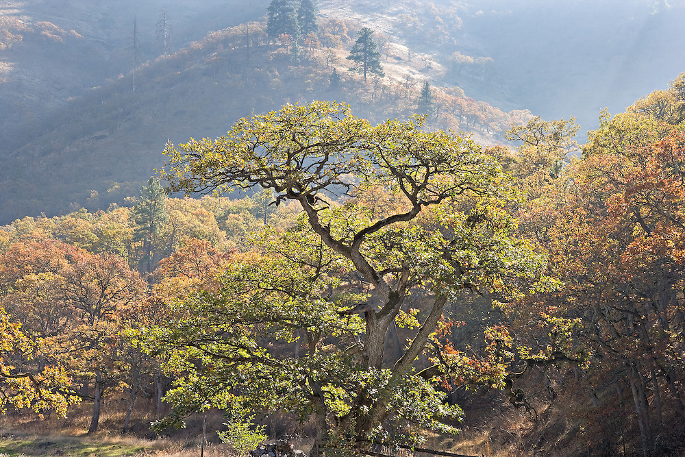 Autumn Oak Tree Forest in Morning Sunlight, Columbia River Gorge, Washington State