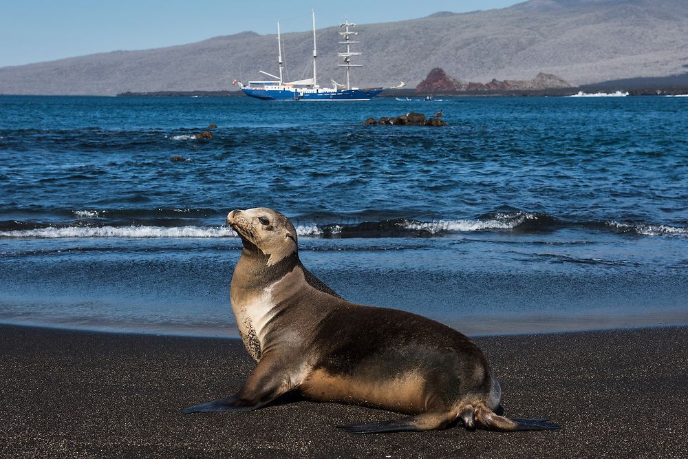 Galapagos Sealion (Zalophus wollebaeki) &  SS Mary Anne<br /> Puerto Egas, Santiago Island,<br /> GALAPAGOS ISLANDS<br /> ECUADOR.  South America