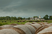 Cattle graze behind bales of hay at a small farm in Little Compton, Rhode Island, on an  August afternoon.