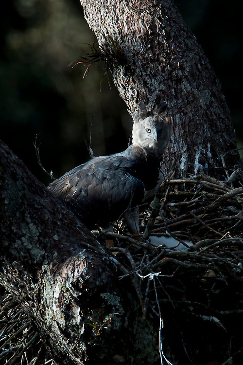 Parauapebas_PA, Brazil.<br /> <br /> Harpy Eagle(Harpia harpyja) in Carajas National Forest, Para, Brazil. <br /> <br /> Foto: JOAO MARCOS ROSA / NITRO