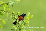 01618-01605 Orchard Oriole (Icterus spurius) male in spruce tree Marion Co. IL