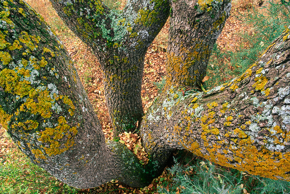 Pishtachio tree, Vashlovani National Park, The Country of Georgia