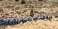PEONES ARREANDO OVEJAS (CARNEROS), ESTANCIA LELEQUE, PROVINCIA DEL CHUBUT, ARGENTINA (PHOTO © MARCO GUOLI - ALL RIGHTS RESERVED)