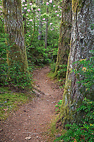 Douglas Fir (Pseudotsuga menziesii} and Pacific Rhododendron (Rhododendron macrophyllum) (blooming) along a trail in the Green Mountain State Forest, on the Kitsap Peninsula in Puget Sound, WA, USA.