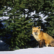 Red Fox (Vulpus vulpes) adult during the winter in the Rocky Mountains of Montana. Captive Animal