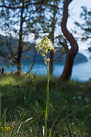 With the reputation of being the plant that has killed more people in the Pacific Northwest than any other plant ever will, the death camas is a rather plain-looking, white-flowered member of the lily family that often grows in and among the historically significant common camas, which has been used as a food source for centuries, if not millennia. The corm (think of something similar to a tulip or daffodil bulb) of the common blue-flowering camas was an extremely important food source for the native peoples and settling pioneers, and when dug up when not in flower, the nutritious common camas corm and the highly poisonous death camas corm are virtually indistinguishable. This was one of hundreds found and photographed among the edible common camas on Fidalgo Island in Anacortes, Washington on a mid-April afternoon almost at the very edge of the high cliffs overlooking Rosario Strait.