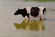 Santa Maria do Salto_MG, Brasil...Vaca em um lago em Santa Maria do Salto, Minas Gerais...A cow in a lake in Santa Maria do Salto, Minas Gerais...Foto: LEO DRUMOND / NITRO