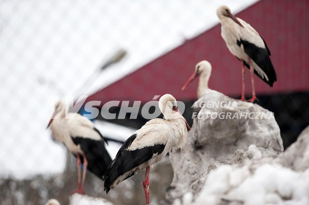 10.04.2013 Bialystok Ok 150 bocianow koczuje na sniegu przy ul Dolistowskiej . Tydzien wczesniej ludzie zaczeli dokarmiac zmarzniete i glodne ptaki , wtedy bylo ich ok 40 . Obecnie tak przyzwyczaily sie do ludzi , ze nie uciekaja a ich liczba znacznie sie powiekszyla . Pozywienia szukaja rowniez w pobliskiej sortowni smieci fot Michal Kosc / AGENCJA WSCHOD