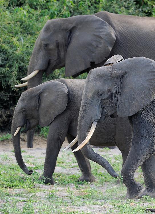 African elephant, Loxodonta sp., Chobe National Park, Botswana
