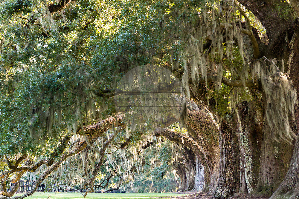 Avenue of Oaks draped with spanish moss at Boone Hall Plantation in Mt Pleasant, South Carolina.