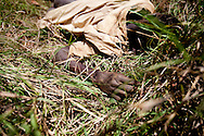 """The corpse of a man killed during a drunken dispute lies in the bush. It will not be moved until revenge for the death is taken on the tribe responsible and an """"innocent"""" person is killed."""