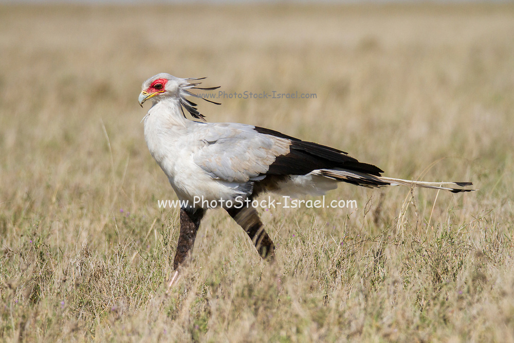 Secretary Bird (Sagittarius serpentarius) in the savanna. This bird of prey inhabits grassland and open spaces of sub-Saharan Africa. Although an accomplished flyer it remains mostly terrestrial. It feeds on snakes, large insects, lizards and rats, stamping the larger prey to death with its large claws. Photographed in the Serengeti National Park, Tanzania.