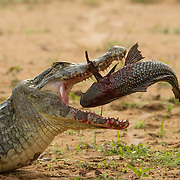 Caiman feeding on a large catfish. Pantanal, Brazil