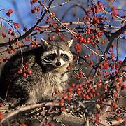 Raccoon, (Procyon lotor) Sitting in crabapple tree.  Captive Animal.