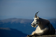 USA, Colorado, Mt. Evans, Mountain Goat (Oreamnus americanus) chewing its cud along the road