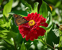 Monarch Butterfly on a Zinnia Flower. Image taken with a Nikon D5 camera and 70-200 mm f/2.8 lens (ISO 100, 200 mm, f/8, 1/250 sec)