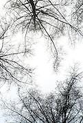Bare trees on white