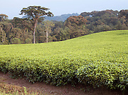 A tea plantation in Nyungwe National Park, Rwanda