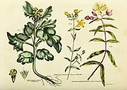 Hyoscyamus albus [White Henbane] Hypericum olympicum [Olympian St. John's Wort] Hypericum monogynum [Chinese St. John's Wort] from Vol 1 of the book The universal herbal : or botanical, medical and agricultural dictionary : containing an account of all known plants in the world, arranged according to the Linnean system. Specifying the uses to which they are or may be applied By Thomas Green,  Published in 1816 by Nuttall, Fisher & Co. in Liverpool and Printed at the Caxton Press by H. Fisher