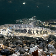 These are chum salmon (Oncorhynchus keta) swimming in a shallow river in Hokkaido, Japan. The fish are preparing to spawn after spending one to three years at sea. The individual in the foreground is female, the larger two in the background males. Females dig shallow nests at the edges of waterflow to deposit eggs, which are fertillized by a partner male, sometimes multiple males. The female covers fertilized eggs with gravel.