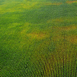 Aerial view of rows of grapes in sonoma california vineyard