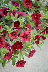 Calibrachoa 'Double Can Can Wine Red' - Million bells