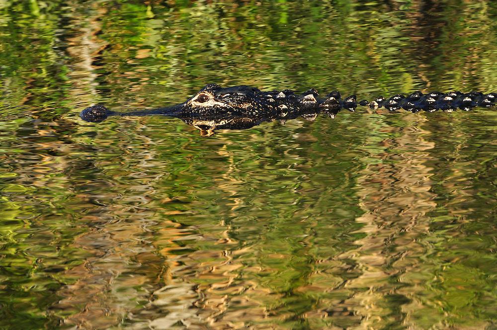 Travel - Aligator in the wild